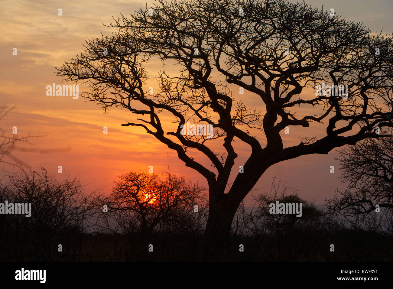 A silhouette of a tree at sunset. Isimangaliso, Kwazulu-Natal, South Africa - Stock Image