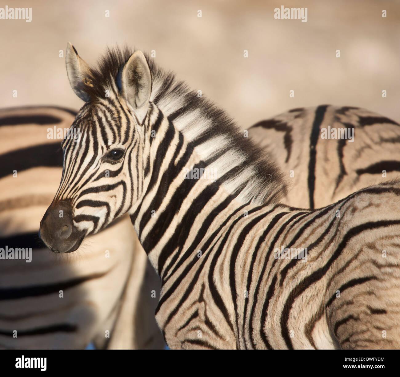 Burchell's Zebra (Equus quagga burchellii) foal with adults in background, Namibia Stock Photo