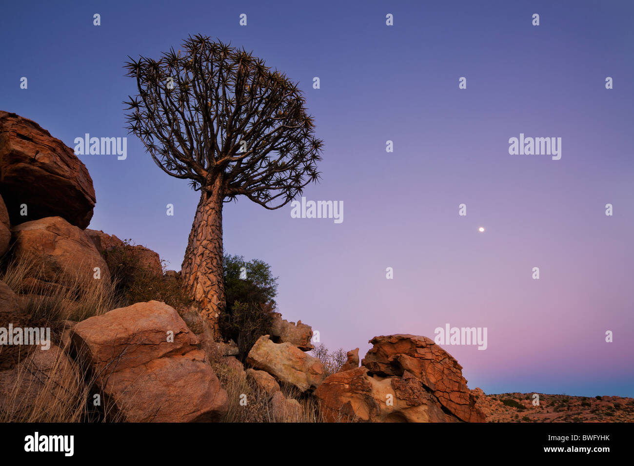 Wide view of a Quiver Tree at dawn with the moon rising in the sky. Richtersveld National Park, South Africa - Stock Image