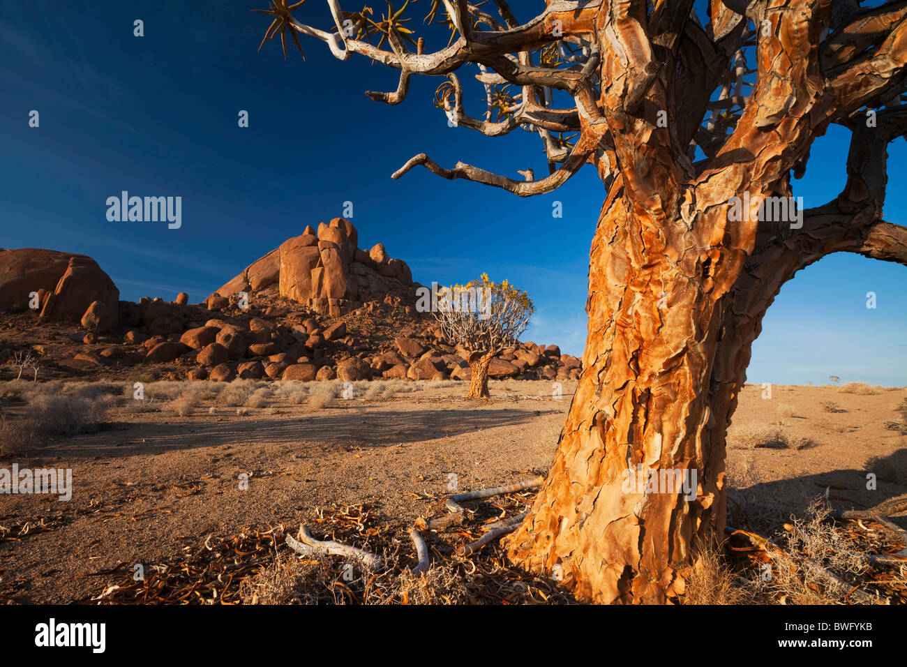 Wide view of Bobbejaankop framed through and ancient quiver tree in warm morning light. Richtersveld National Park, - Stock Image