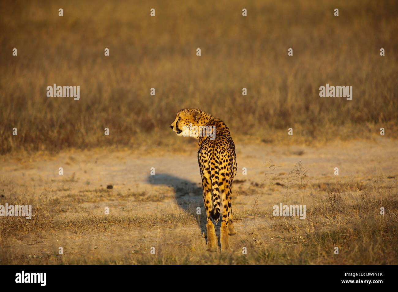 A Cheetah, Kruger National Park, South Africa - Stock Image