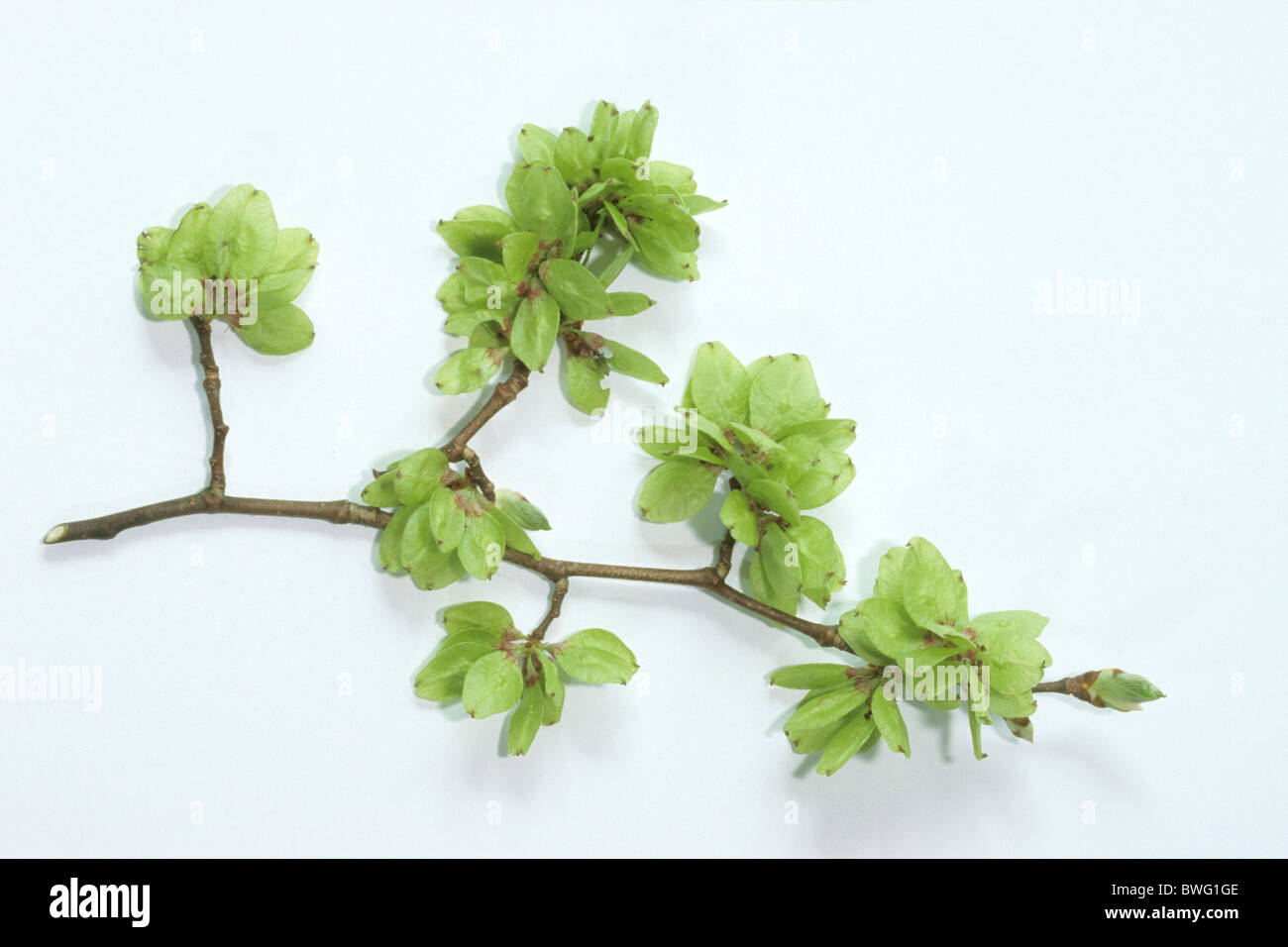 Wych Elm (Ulmus glabra), twig with fruit, studio picture. - Stock Image