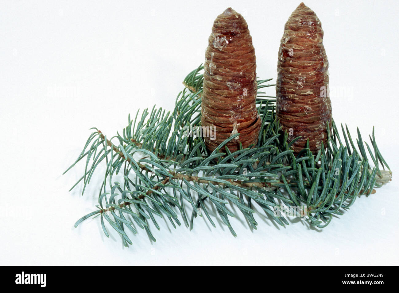 Concolor Fir Stock Photos Concolor Fir Stock Images Alamy