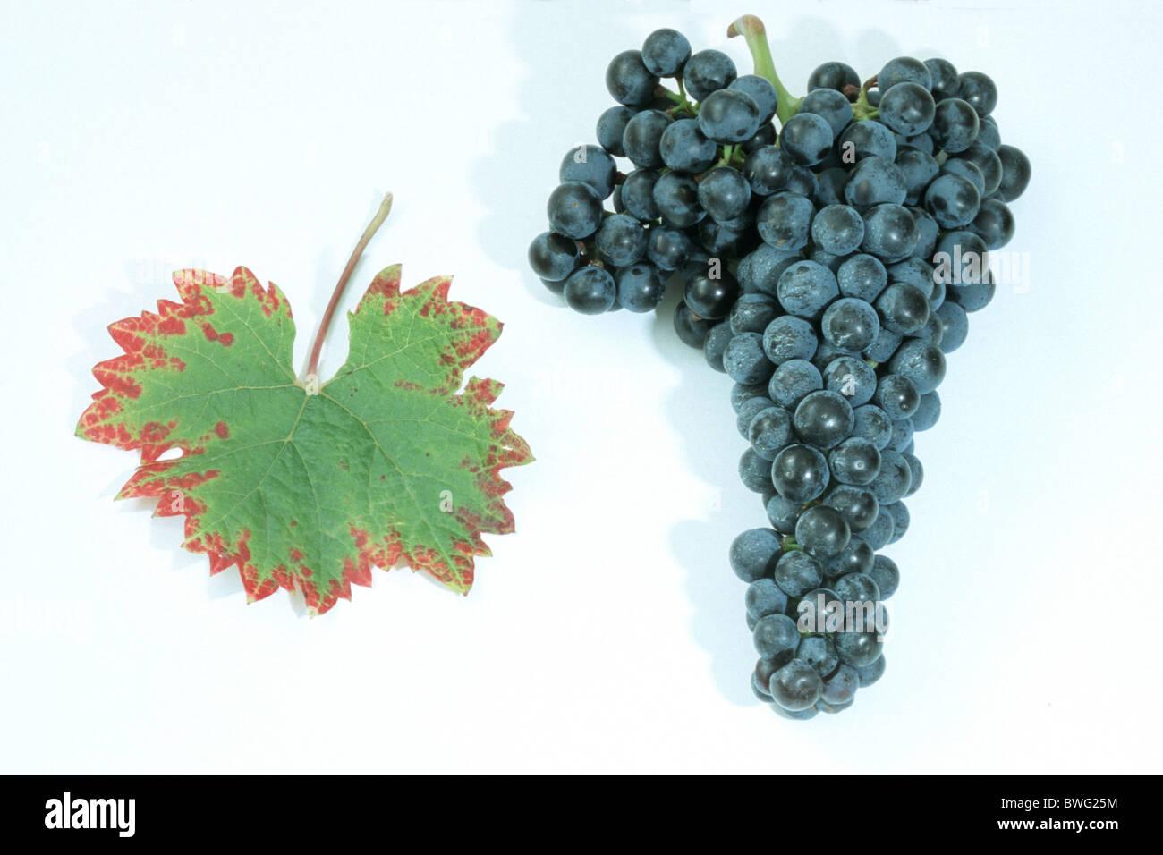 Common Grape Vine, Grape, Vine (Vitis vinifera), variety: Dornfelder, bunch of grapes and leaf, studio picture. Stock Photo