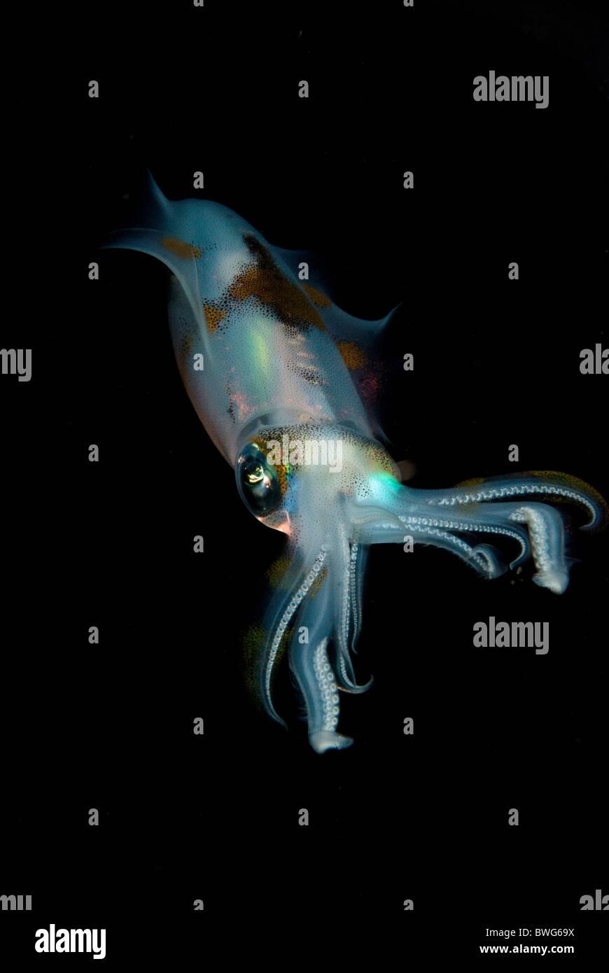 Squid at Night - Stock Image