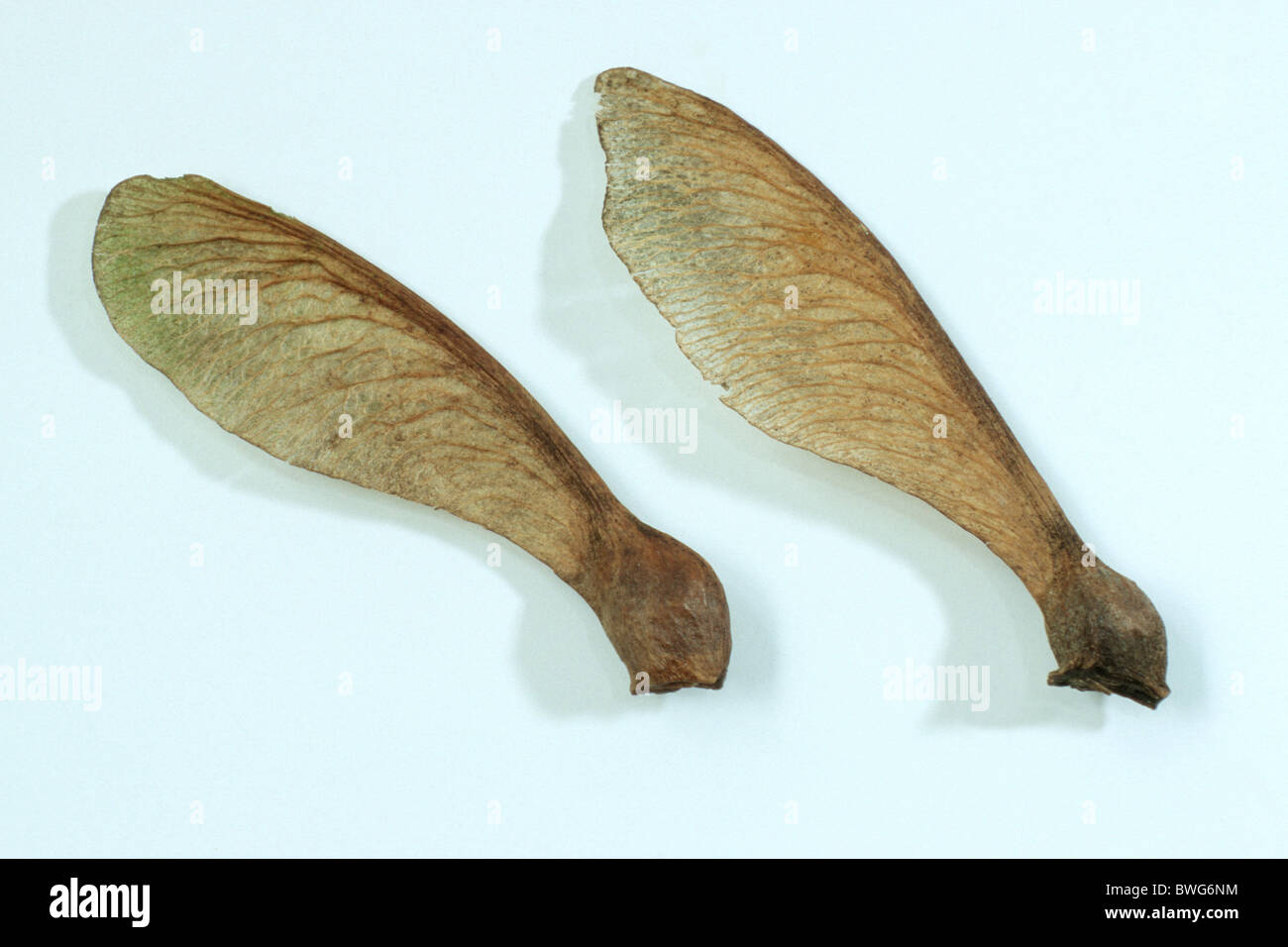 Sycamore, Sycamore Maple (Acer pseudoplatanus), seeds, studio picture. Stock Photo