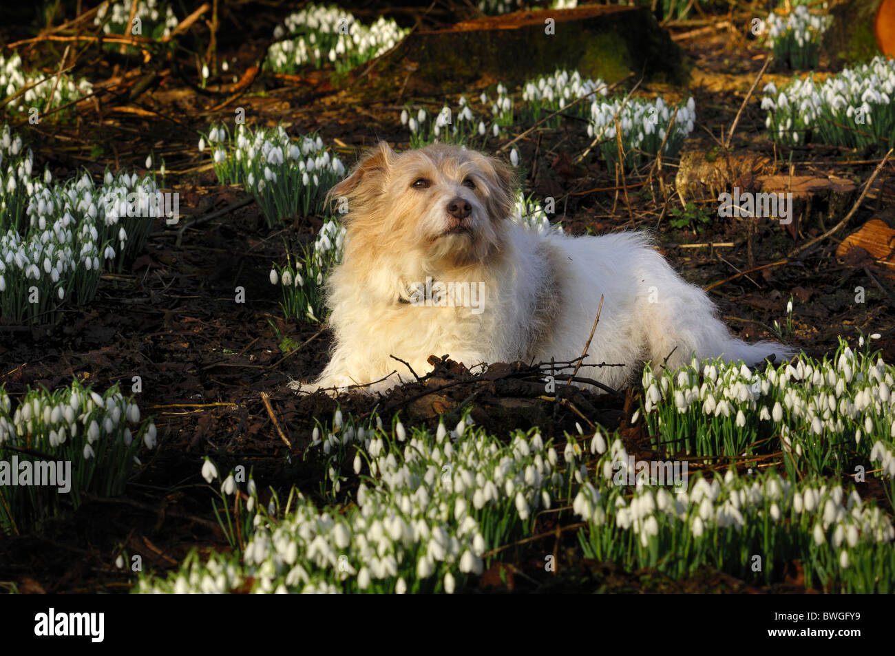 A scruffy Heinz 57 dog lying amongst some snowdrops. Dorset, UK February 2010 - Stock Image