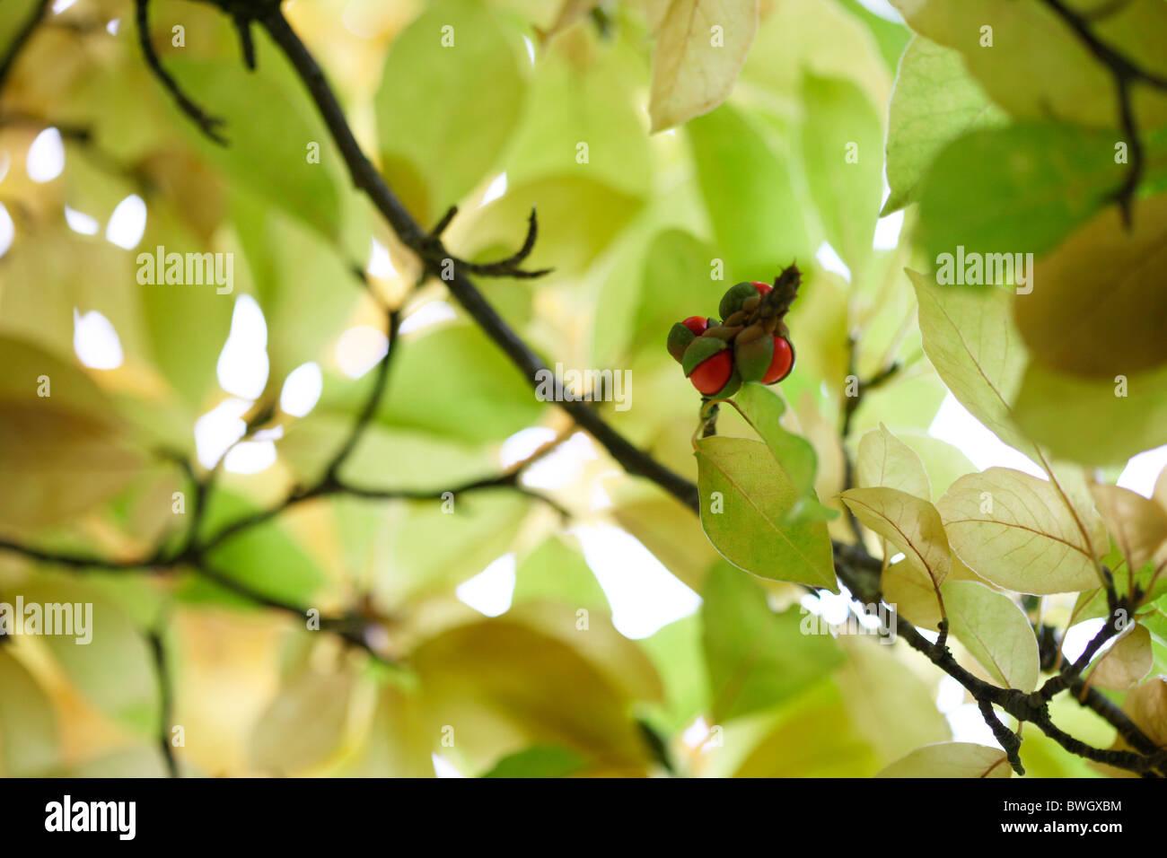 emerging red fruits amongst leafy canopy - fine art photography Jane-Ann Butler Photography JABP947 - Stock Image