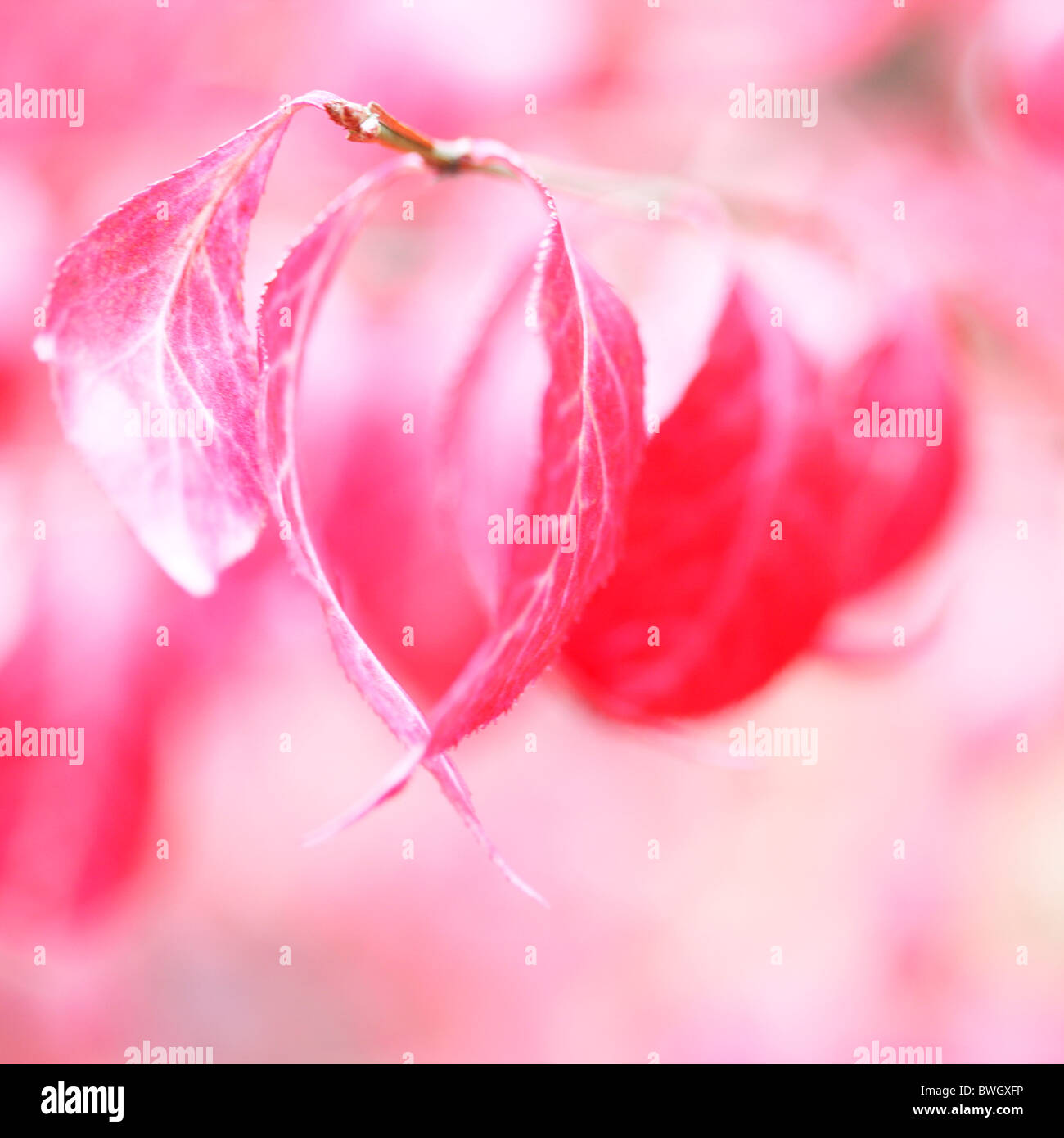 lovely red autumn leaves of the euonymus alatus bush - fine art photography Jane-Ann Butler Photography JABP945 - Stock Image