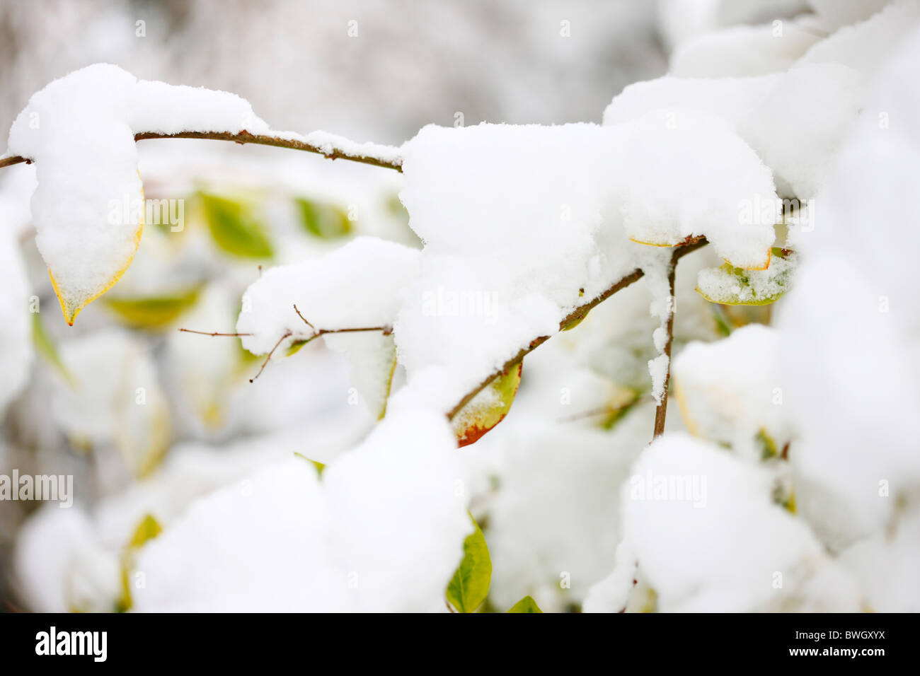 a winter scene icey snow on a choisya goldfinger - fine art photography Jane-Ann Butler Photography JABP953 RIGHTS - Stock Image