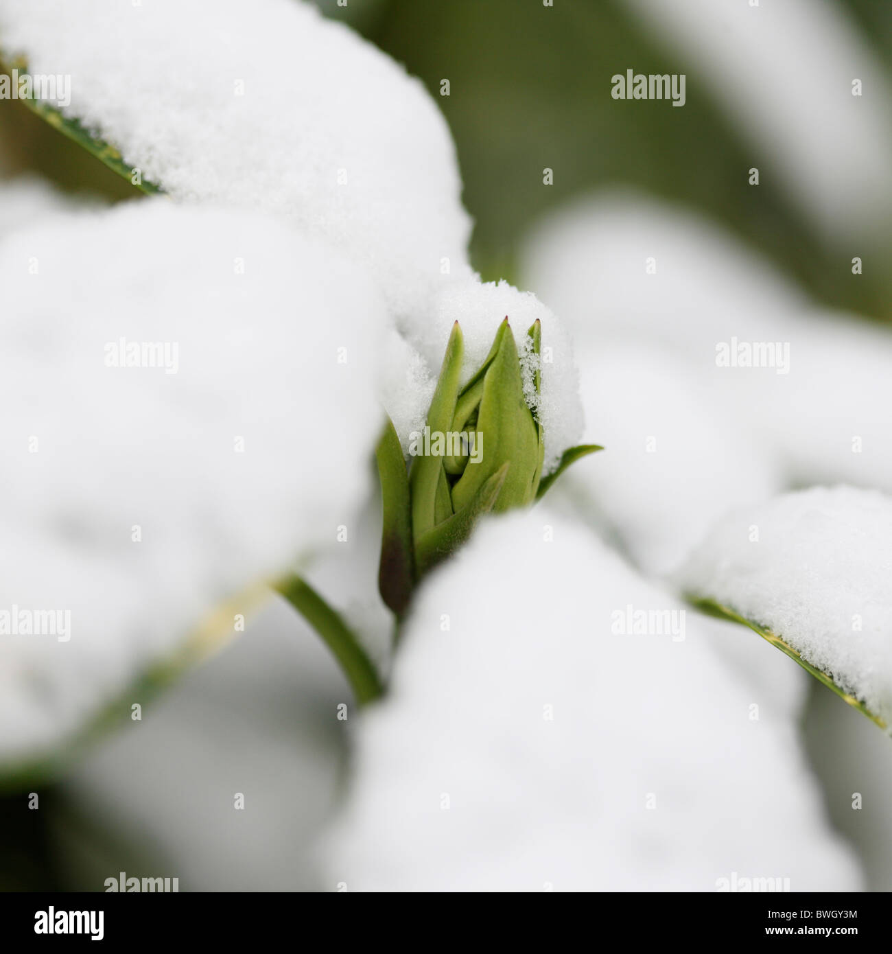 snow capped acuba japonica bud - fine art photography Jane-Ann Butler Photography JABP954 RIGHTS MANAGED - Stock Image