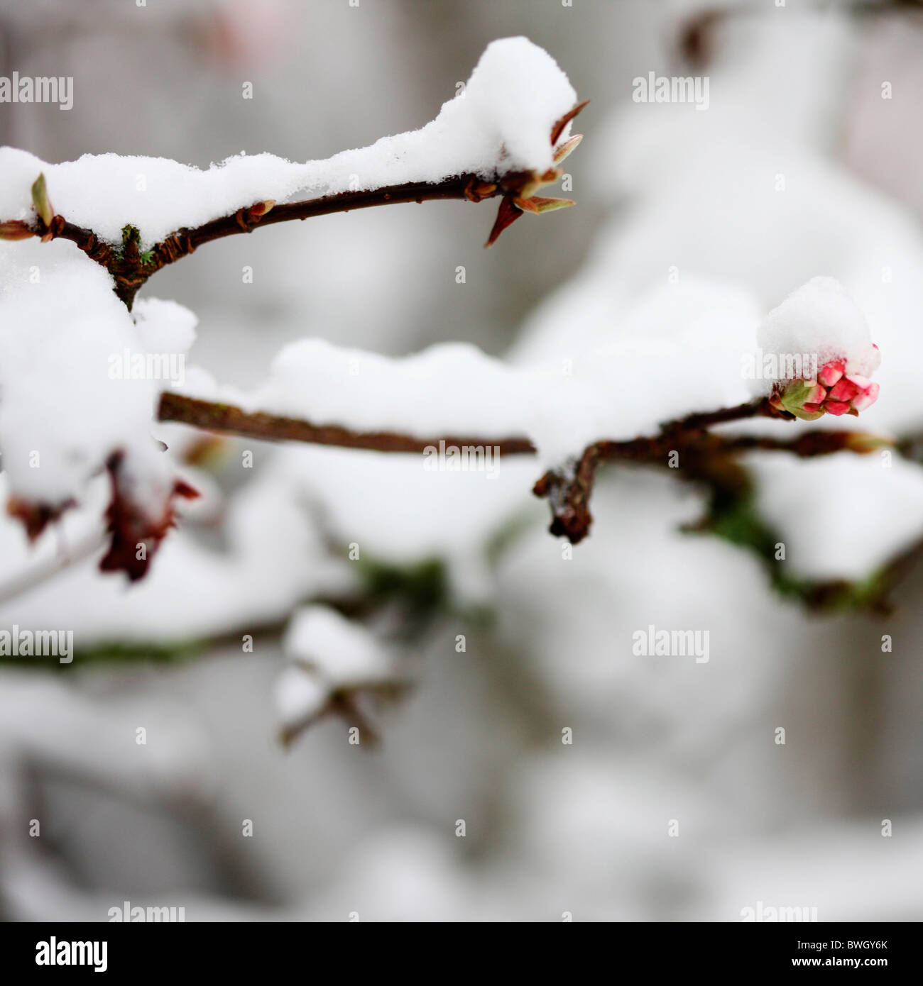 flowering bud coated in winter snow - fine art photography Jane-Ann Butler Photography JABP956 RIGHTS MANAGED - Stock Image