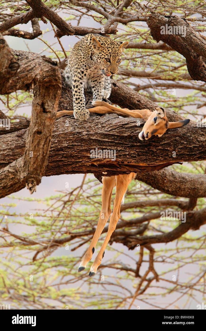 Leopard (Panthera pardus) cub with an Impala (Aepyceros melampus) kill in Samburu National Reserve, Kenya - Stock Image