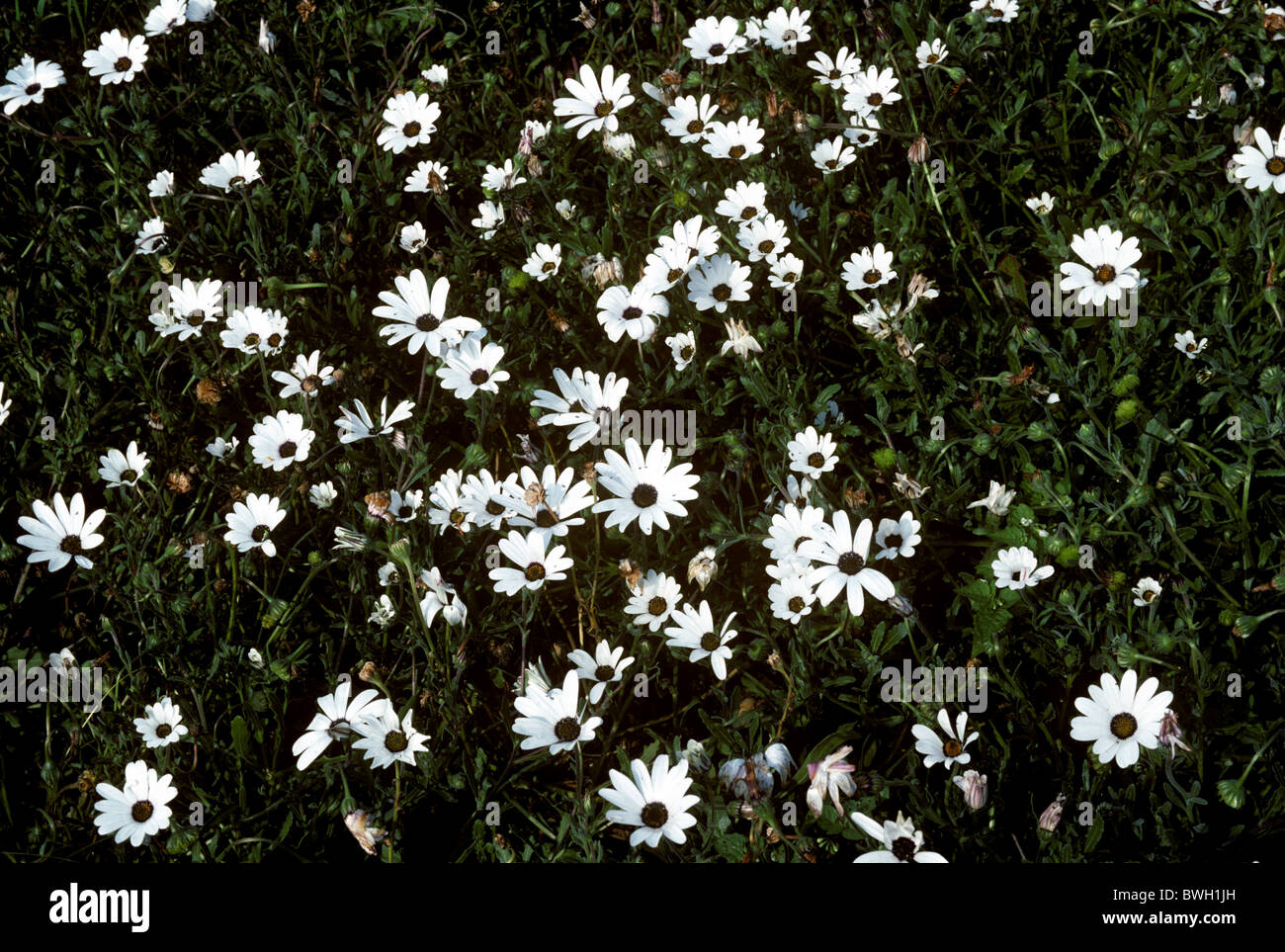 Rain daisy (Dimorphotheca pluvialis) flower only opens in dry weather - Stock Image