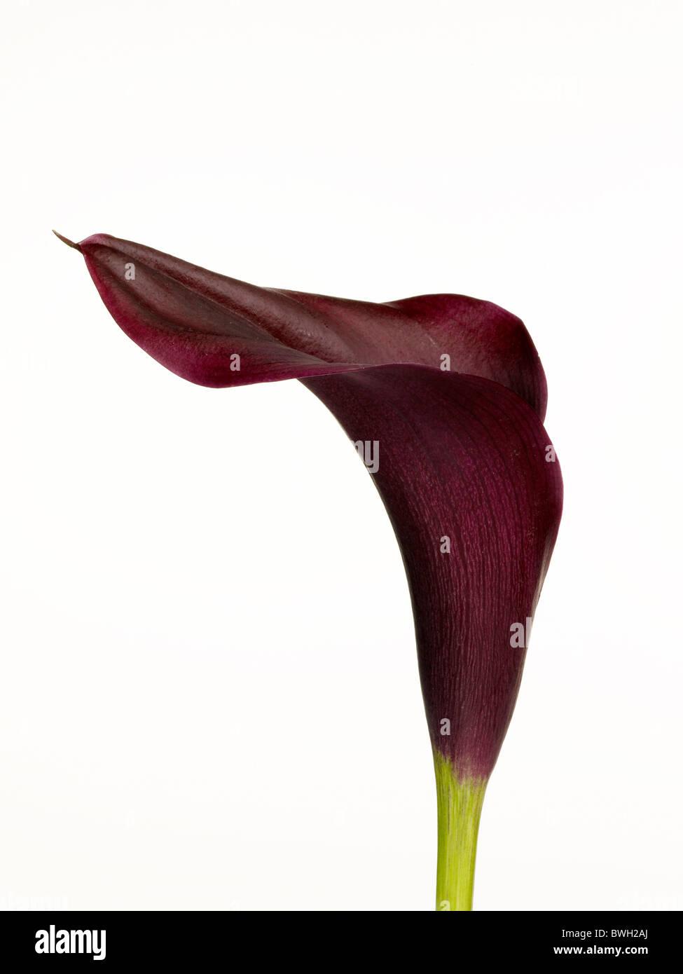 Purple Calla (Zantedeschia aethiopica) - Stock Image