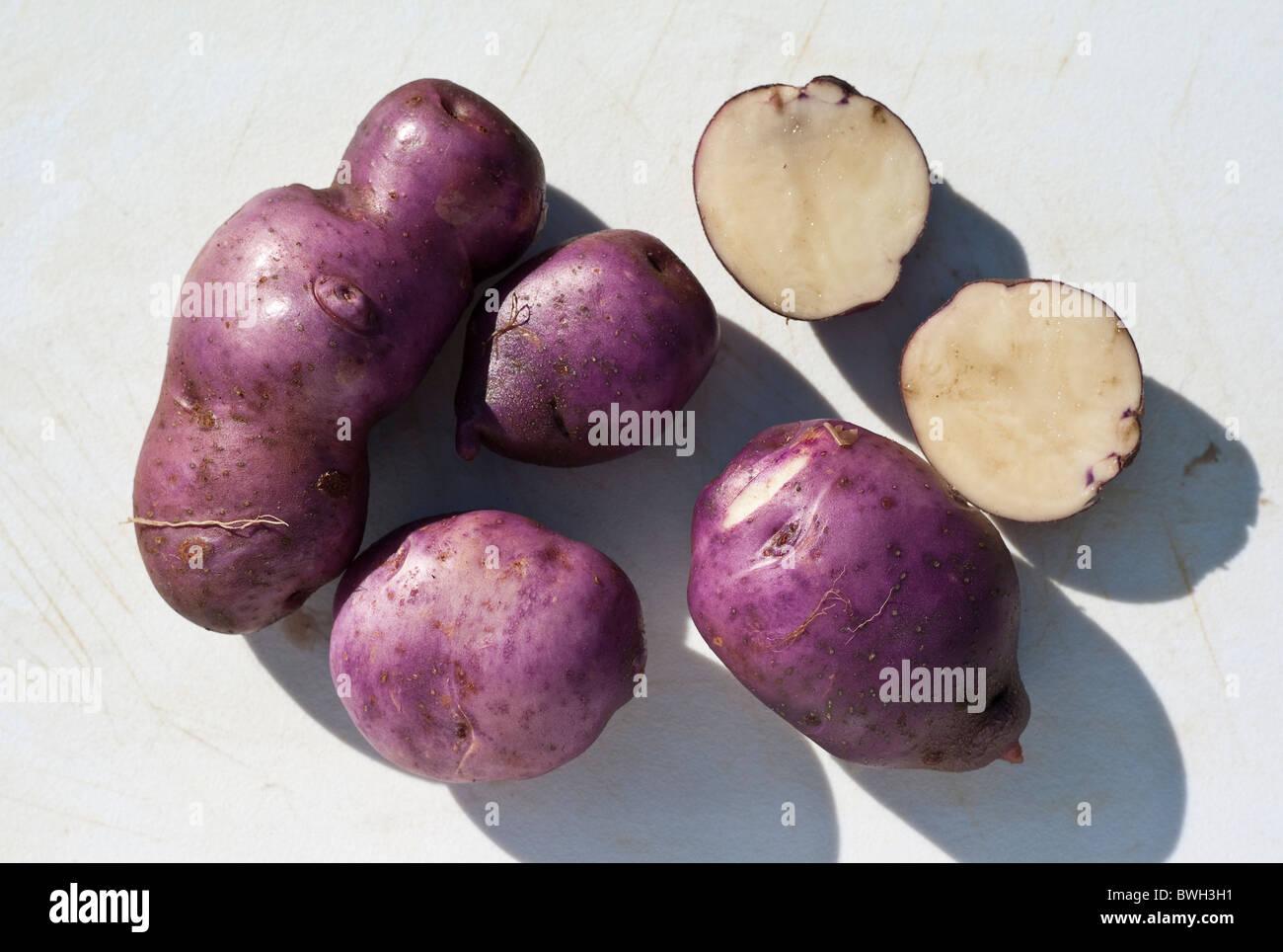 Purple-skinned Arran Victory potatoes just  harvested - Stock Image