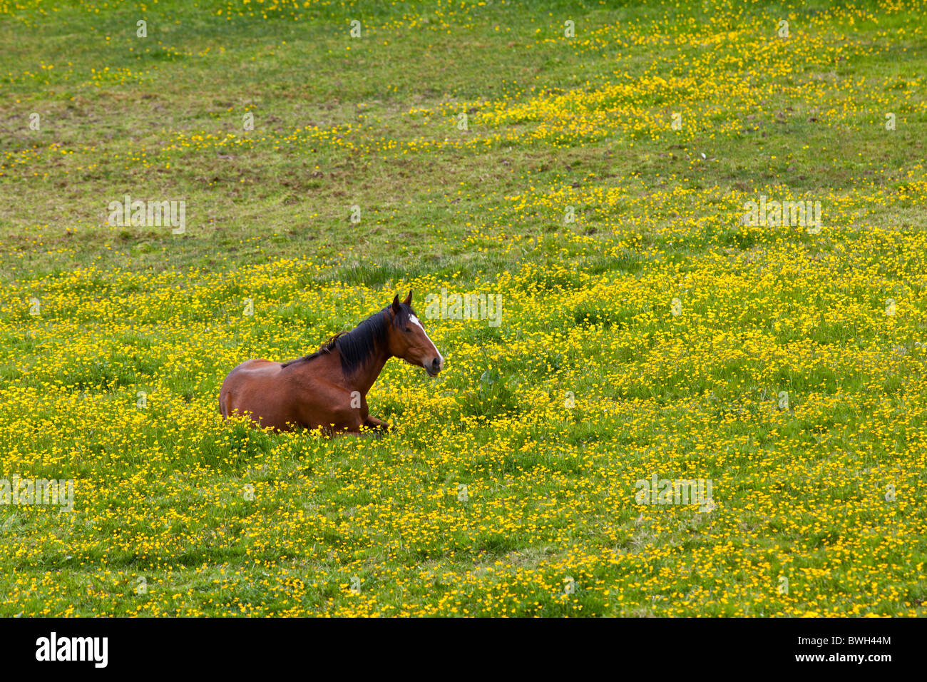 Dark bay Irish thoroughbred horse resting in buttercup meadow in County Cork, Ireland - Stock Image