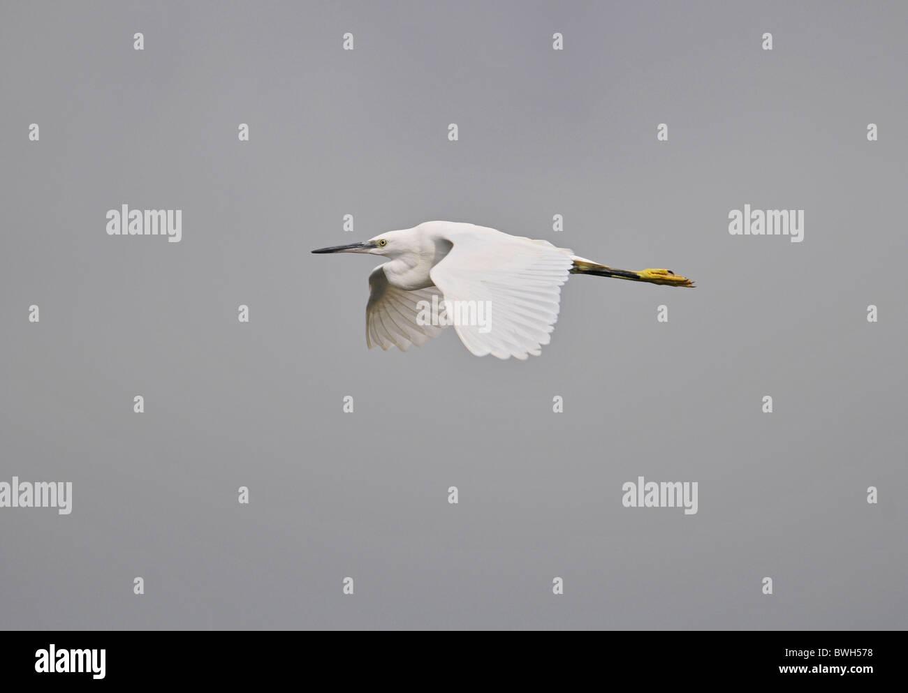Little egret Egretta garzetta In Flight Summer Uk Stock Photo
