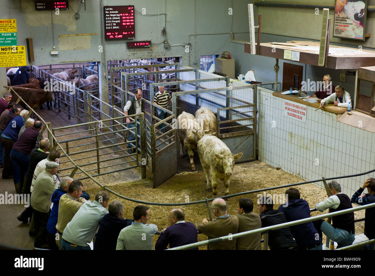 Farmers at cattle auction in Ennis, County Clare, Ireland - Stock Image