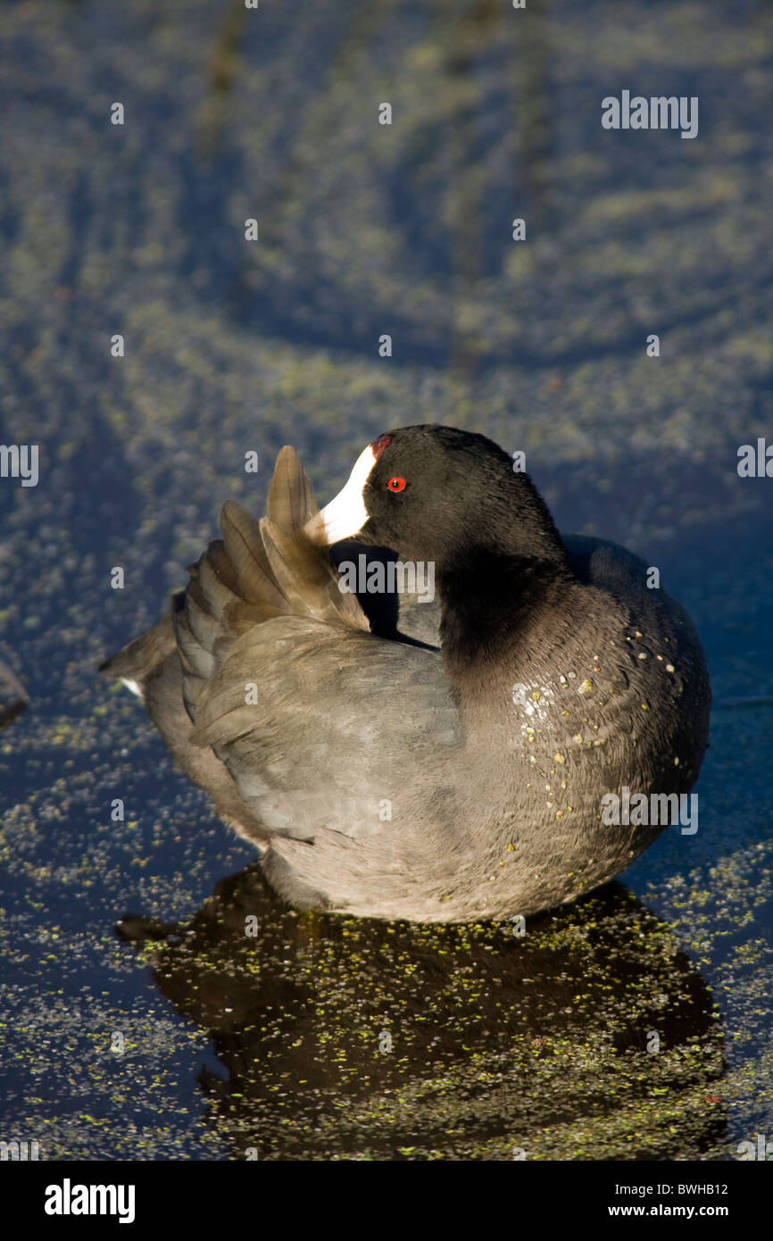 American Coot - Green Cay Wetlands - Delray Beach, Florida USA - Stock Image