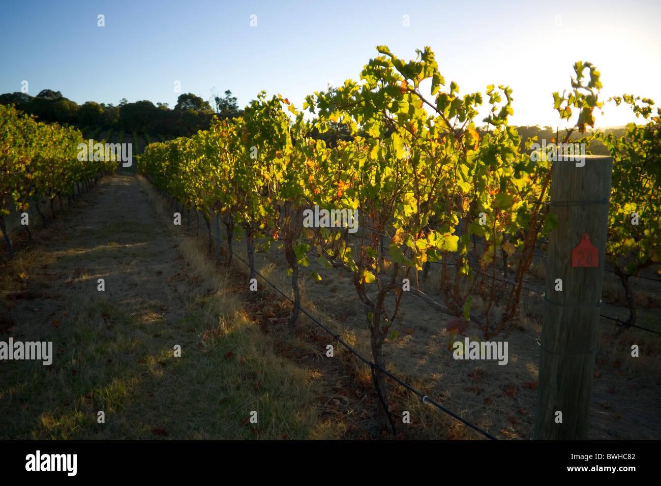 Vineyard at sunset - Stock Image