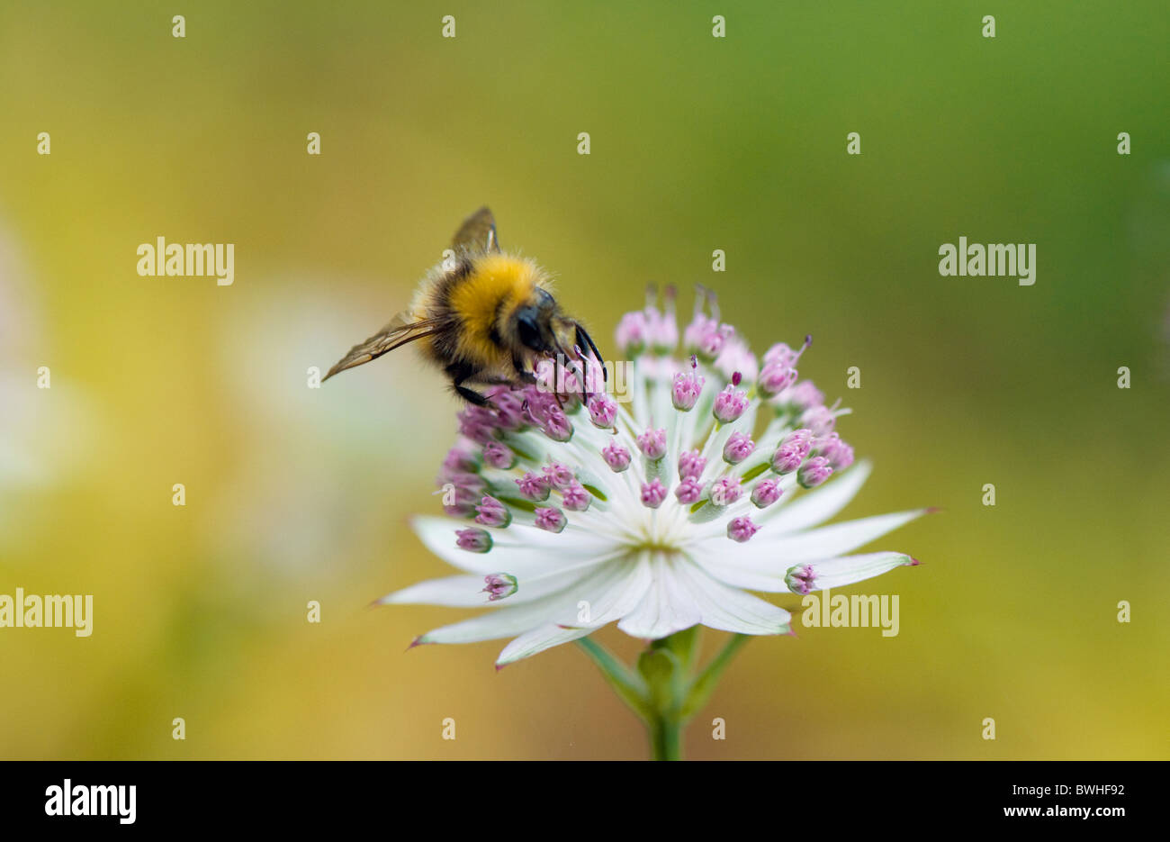 A bee collecting pollen from an Astrantia flower - Stock Image