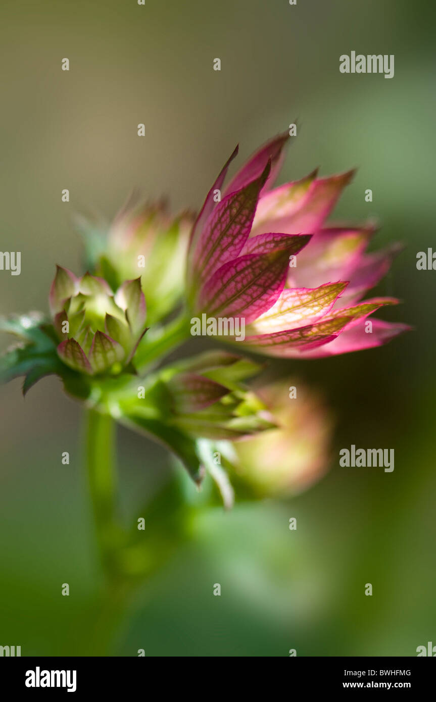 Unopened flower head of Astrantia major 'Bo Ann' - Stock Image