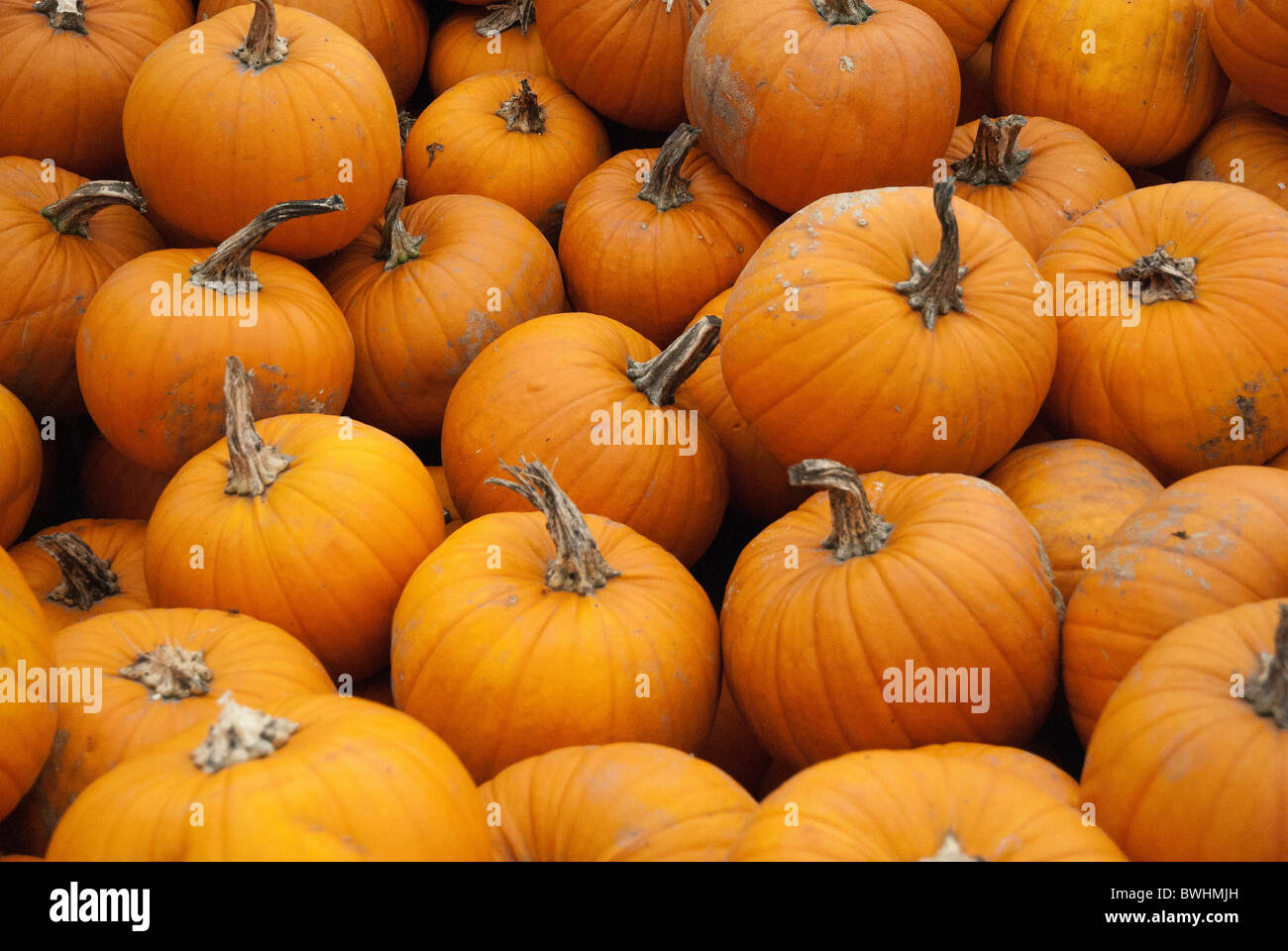 Pumpkins of all shapes and sizes - Stock Image