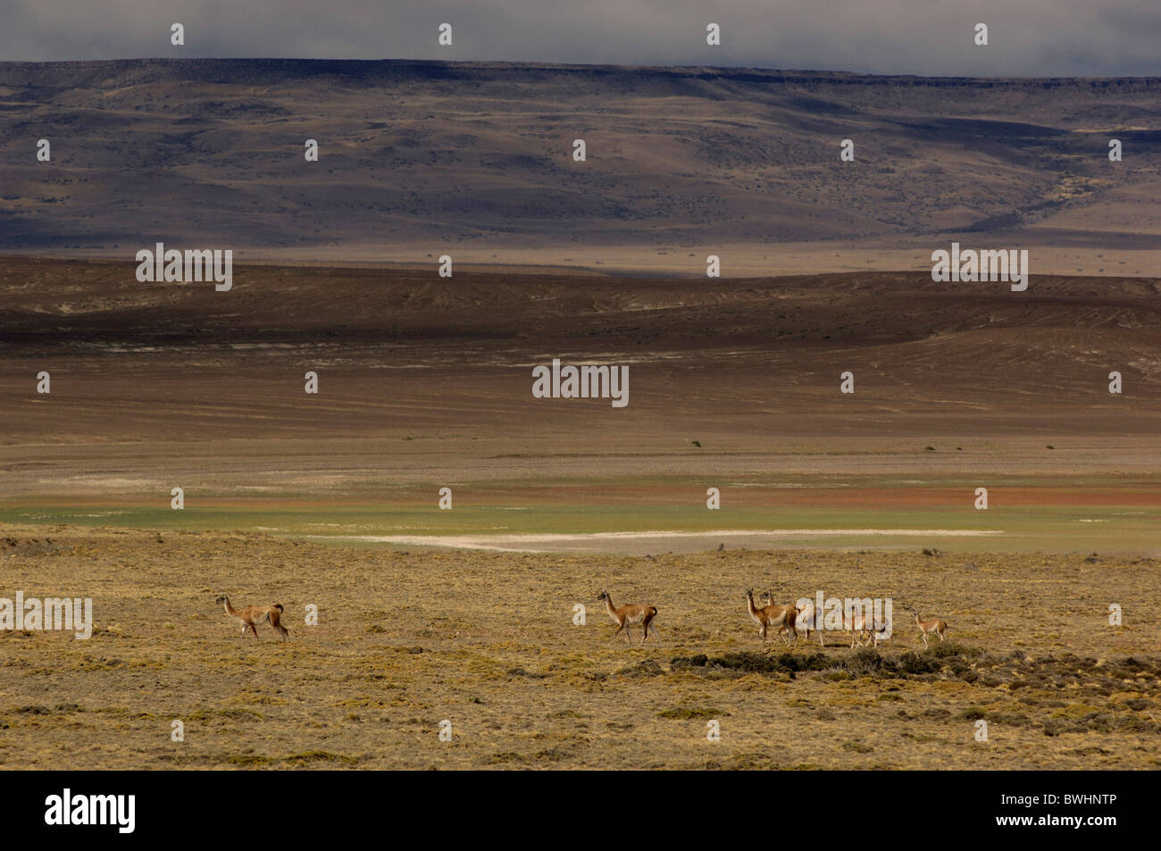 Guanacos lama guanicoe Route 40 near Tres Lagos Santa Cruz Patagonia Argentina South America - Stock Image