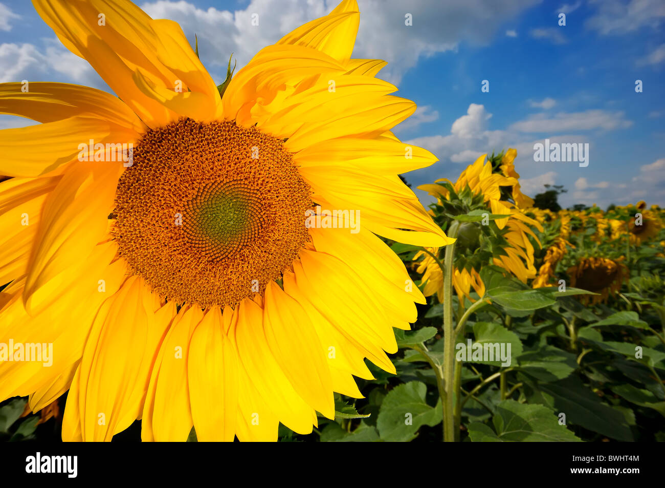 large sunflower in field - Stock Image