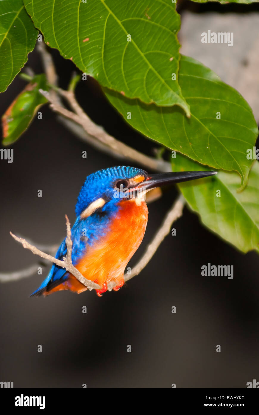 Tiny Kingfisher bird grabbing on a tree branch on Sungai Kinabatangan's bank in Sabah, Borneo, Malaysia - Stock Image