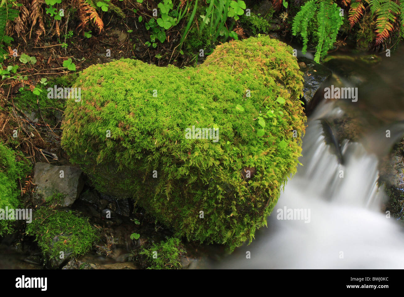 High margin Forest High River Olympic national park park semitropical rain forest semitropical river brook run - Stock Image