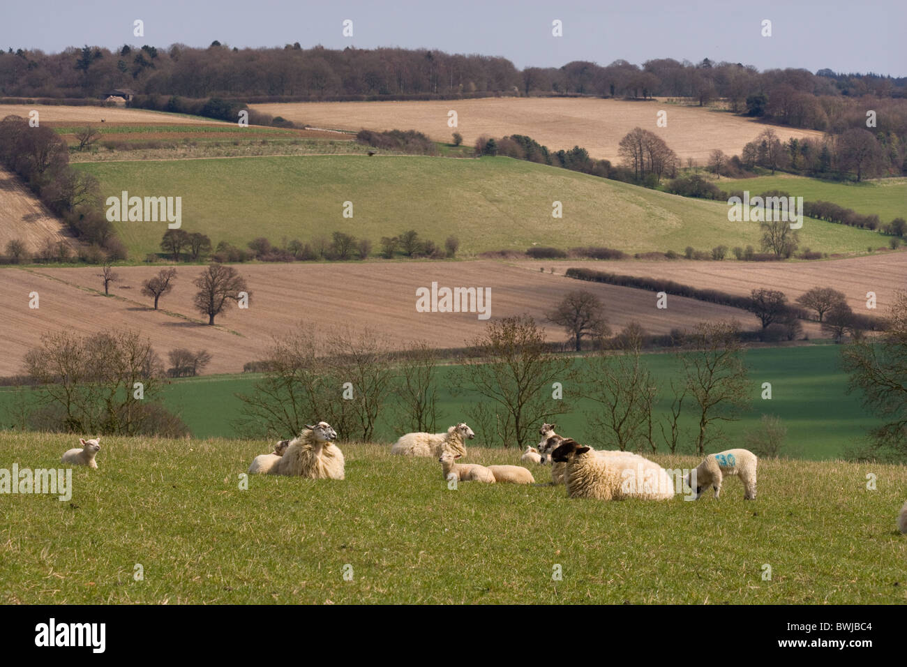 Spring Lambs Upper Gade Valley in the Chiltern Hills Herts Stock Photo