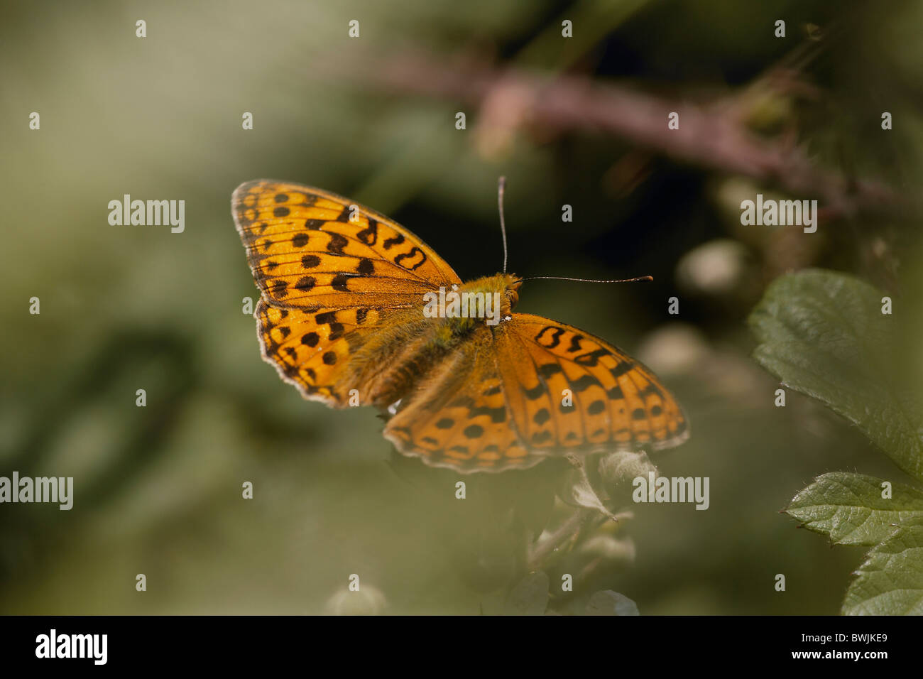 High Brown Fritillary, Argynnis adippe butterfly, Arnside Knott, Cumbria, UK - Stock Image