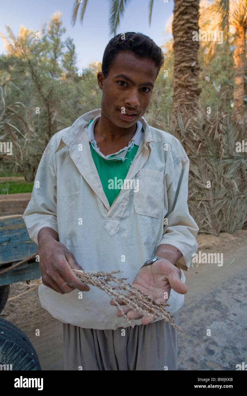 Young Egyptian Man showing stamen used to pollinate date palm tree, Siwa Oasis, Egypt - Stock Image
