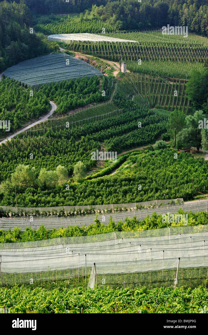 Apple tree orchards at Val di Non, Dolomites, Italy - Stock Image