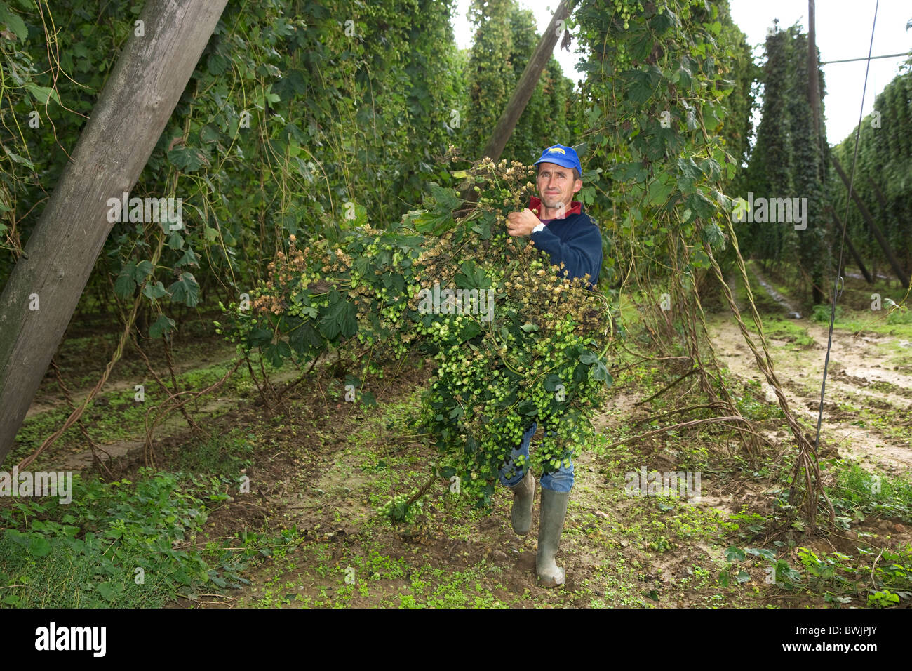 Harvesting of hops (Humulus lupulus) in hop yard in Poperinge, Belgium - Stock Image