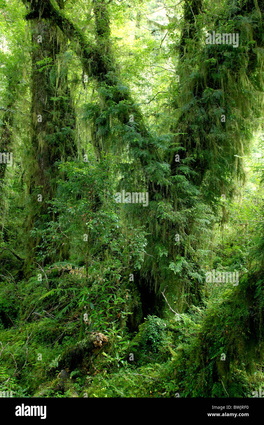 scenery wood forest primeval forest excessively ferns nature Parque Nacional national park Queulat near Puy - Stock Image