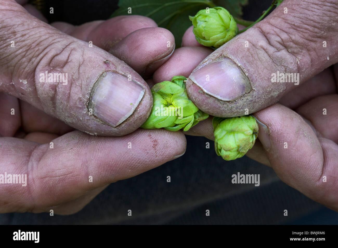 Close-up of hand holding hop cones (Humulus lupulus), Poperinge, Belgium - Stock Image