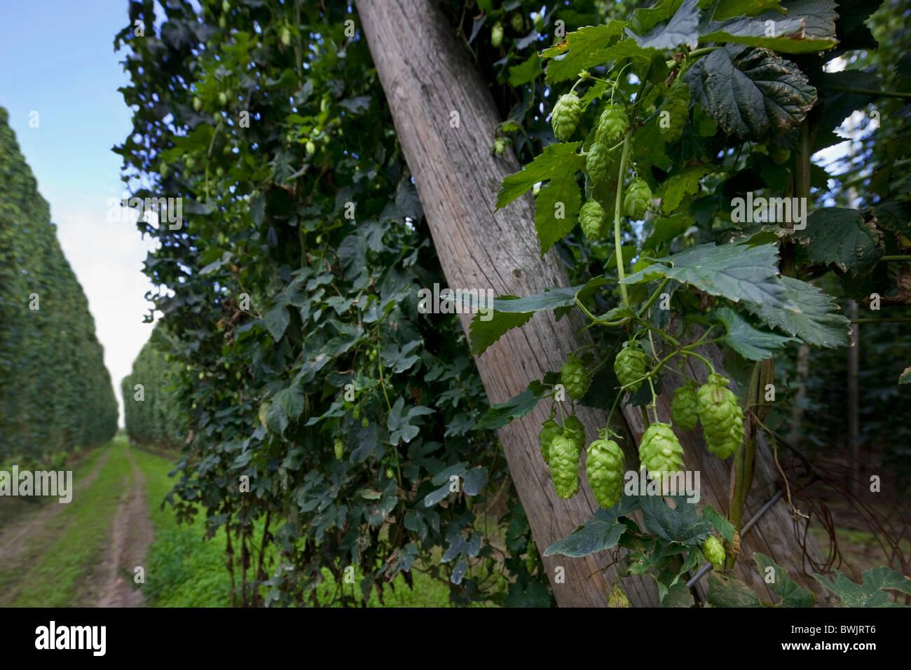 Harvesting of hops (Humulus lupulus), Poperinge, Belgium - Stock Image