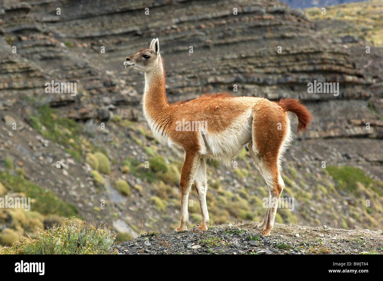 Guanako llama lama guanicoe Parque Nacional national park Torres del Paine Magallanes Patagonia Chile - Stock Image