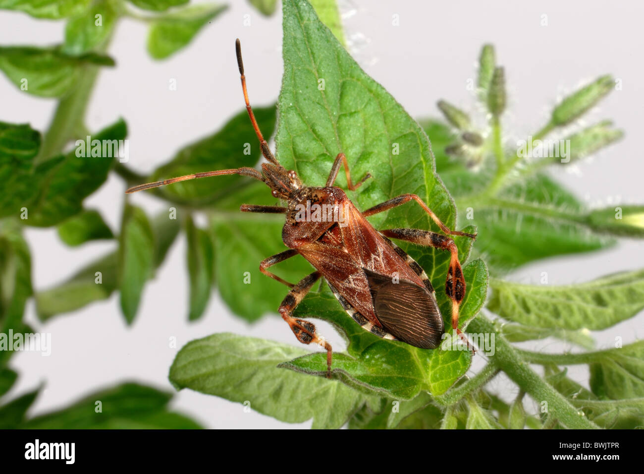 Western conifer bug (Leptinoglossus occidentalis) adult - Stock Image