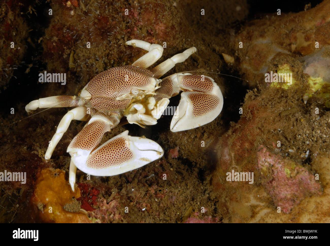 Porcelain crab or Anemone Crabs Neopetrolisthes ohshimai, Porcellanidae, Tulamben, Bali,. Indonesia, Asia - Stock Image