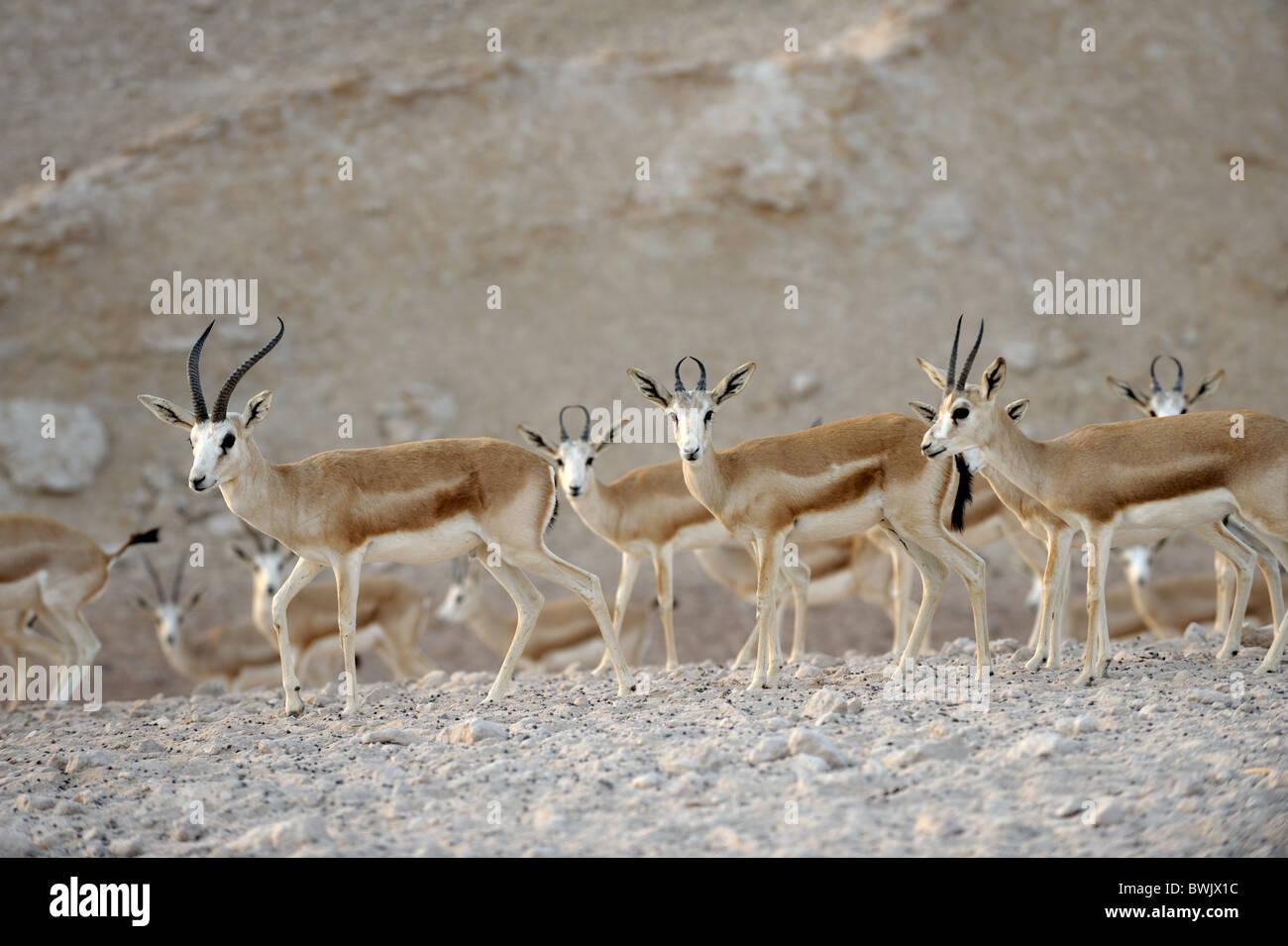 Sand gazelles (Gazella subgutturosa marica) on Sir Bani Yas Island Wildlife Reserve, Abu Dhabi - Stock Image