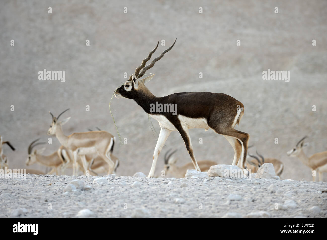 Breeding male blackbuck (Antilope cervicapra) on Sir Bani Yas Island Wildlife Reserve, Abu Dhabi - Stock Image