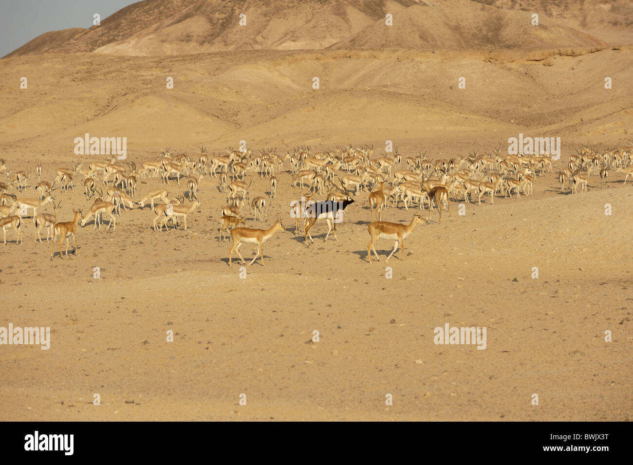 Herd of blackbuck (Antilope cervicapra) on Sir Bani Yas Island Wildlife Reserve, Abu Dhabi - Stock Image