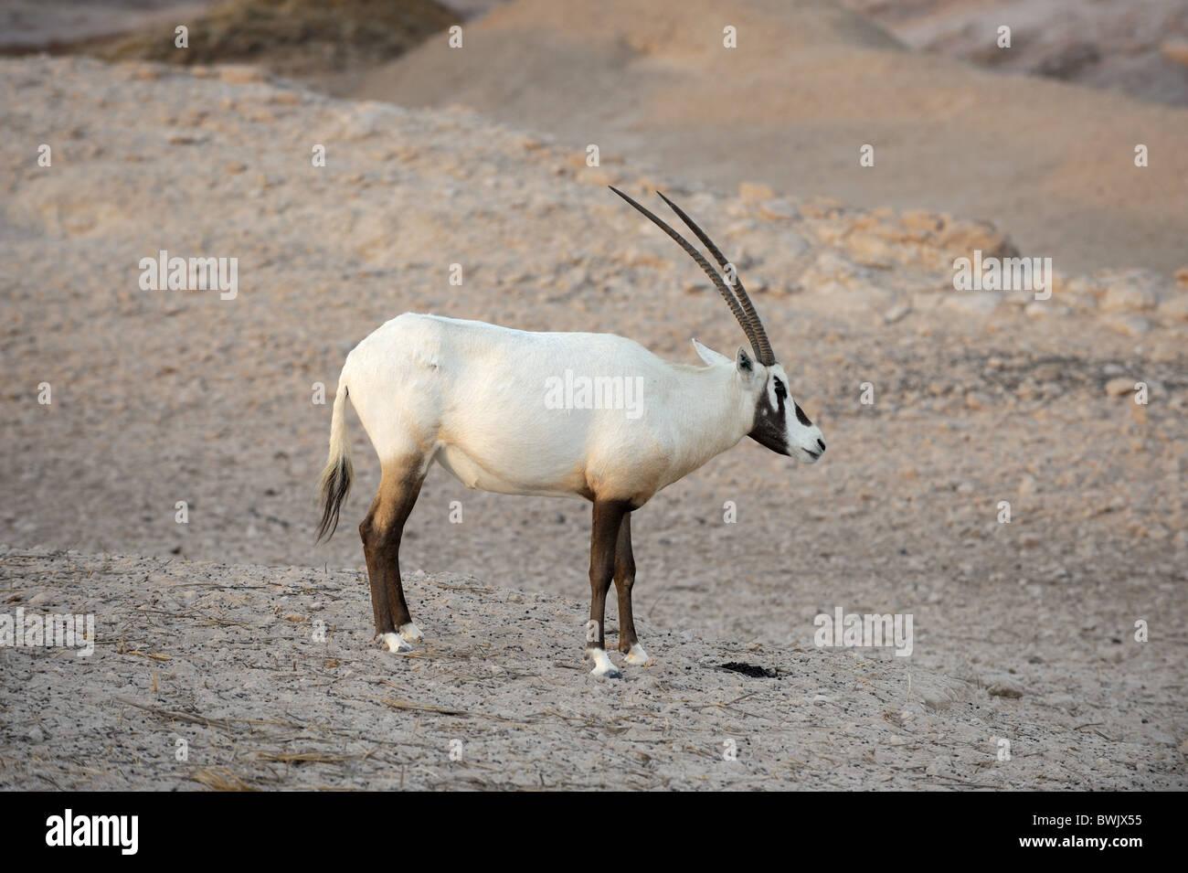 Arabian oryx (Oryx leucoryx) on Sir Bani Yas Island Wildlife Reserve, Abu Dhabi - Stock Image