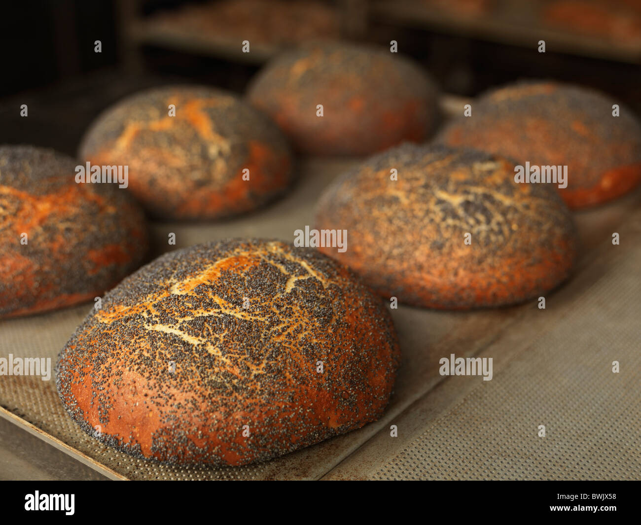 Several freshly baked round bread loaves on a baking tray - Stock Image