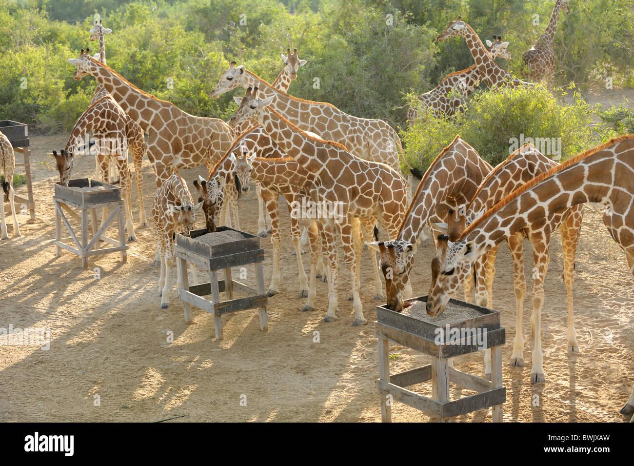 Adults & young giraffe (Giraffa camelopardalis) at feeding station on Sir Bani Yas Island, UAE - Stock Image