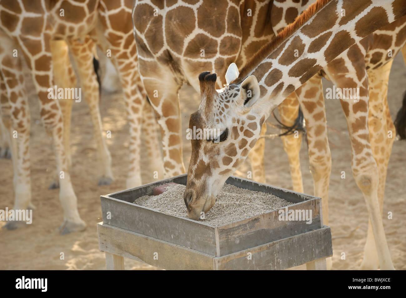Adult giraffe (Giraffa camelopardalis) at a feeding station on Sir Bani Yas Island, UAE - Stock Image